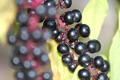 Photograph - Berries by Michele Wilson