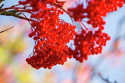 Red Berries Photograph - Berries On A Rowan Tree by Ashley Cooper
