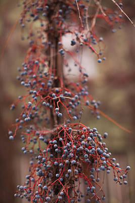 Sonoma County Photograph - Berries On A Tree, Healdsburg, Russian by Panoramic Images