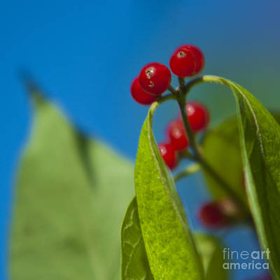 Photograph - Berry Berry by Ryan Heffron