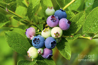 Photograph - Berry Fresh 2 by Sharon Talson