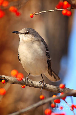 Photograph - Berry Happy Mockingbird by David Cutts