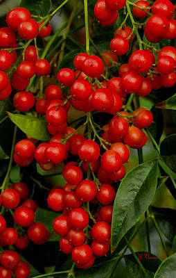 Photograph - Berry Red by James C Thomas