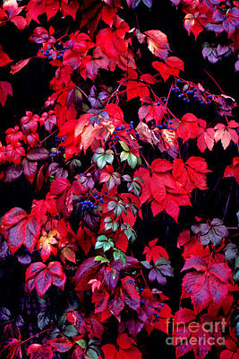 Photograph - Berry Vines by Paul W Faust -  Impressions of Light
