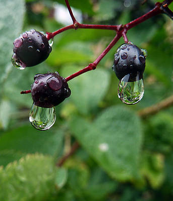 Photograph - Berry Wet by Baato