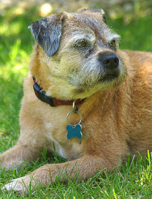 Photograph - Bertie The Border Terrier by David Birchall