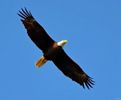 Photograph - Best Bald Eagle On Blue by Jeff at JSJ Photography