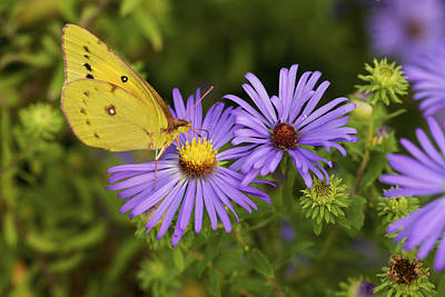 Art Print featuring the photograph Best Friends - Sulphur Butterfly On Asters by Jane Eleanor Nicholas