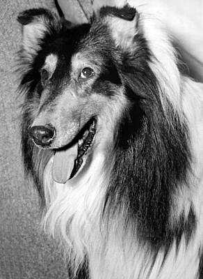 Panting Photograph - Best Of Breed Collie by Underwood Archives