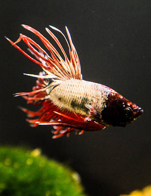 Photograph - Betta Fish 3 by Lisa Brandel
