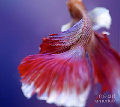 Betta Splendens Photograph - Betta Fish Beauty by Jennifer Gaida
