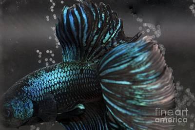 Betta Fish Close Up Art Print