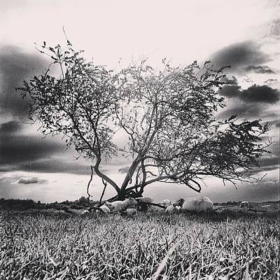 Sheep Photograph - #beutiful #black #white #picture #trees by Ole Back