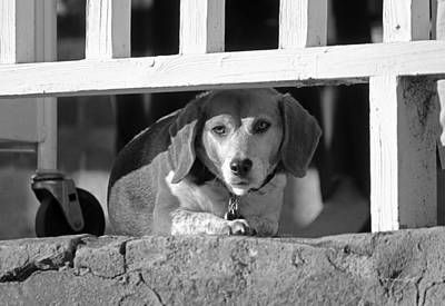 Beware - Guard Beagle On Duty In Black And White Art Print by Suzanne Gaff