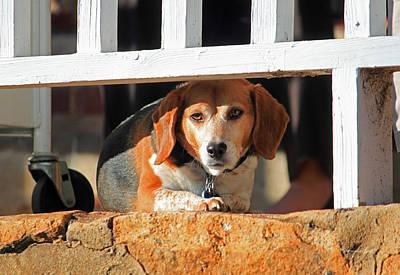 Beware - Guard Beagle On Duty Art Print by Suzanne Gaff