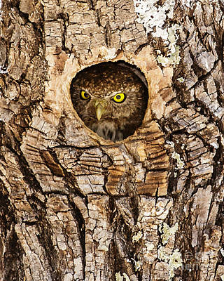 Pygmy Owl Wall Art - Photograph - Beware Of Pygmy... by Carl Jackson