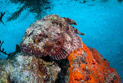 Photograph - Beware The Scorpion Fish by Jean Noren