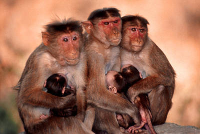 Photograph - Monkey Moments by Joe  Connors