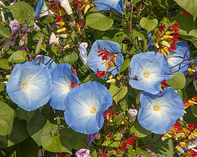 Photograph - Bhubing Palace Gardens Morning Glory Dthcm0433 by Gerry Gantt
