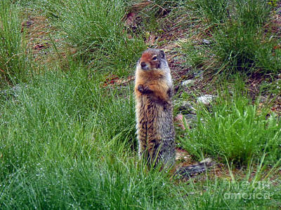 Photograph - 1000p Columbian Ground Squirrel by NightVisions