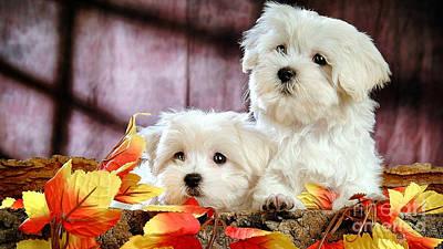 Bichon Puppies Print by Marvin Blaine