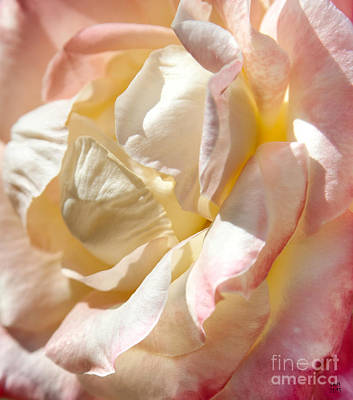 Rose Photograph - Bicolor Beauty by David Millenheft