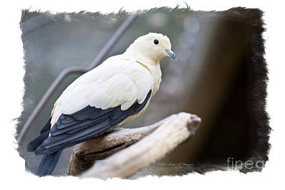 Photograph - Bicolor Pigeon by Richard J Thompson