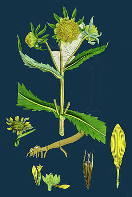 Bidens Cernus, Var. Genuina Nodding Bur-marygold Art Print