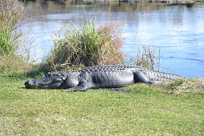 Photograph - Big Alligator Paynes Prairie State Park by rd Erickson