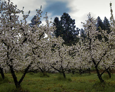 Photograph - Big Apple Blossoms by William Havle