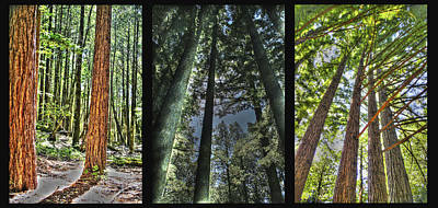 Photograph - Big Basin Redwoods Sp Panel by SC Heffner