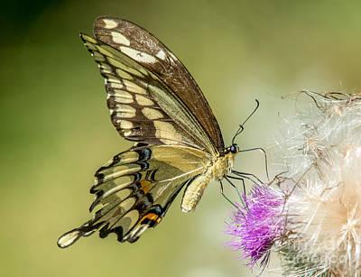 Photograph - Big Beautiful Swallowtail by Cheryl Baxter