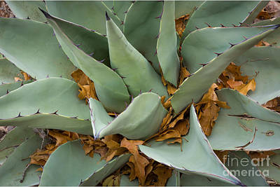 Big Bend Wall Art - Photograph - Big Bend Agave by Inge Johnsson