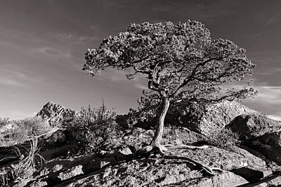 Photograph - Big Bend Tree I by Daniel Woodrum