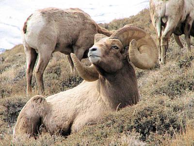 Photograph - Big Bighorn Ram by Darcy Tate