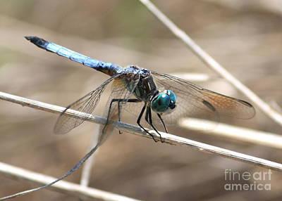 Photograph - Big Blue Dasher by Carol Groenen