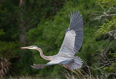 Photograph - Great Blue Heron In Flight by John Black