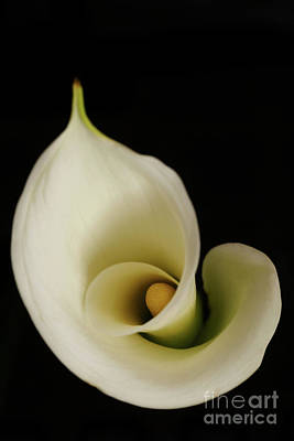 Big Bold Calla Lily On Black Art Print by Linda Matlow
