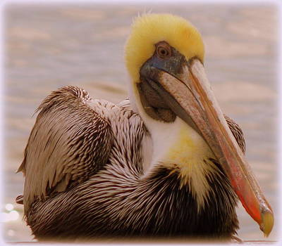 Photograph - Big Boy Pelican by Sheri McLeroy
