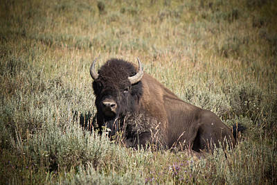 Big Buff - Bison - Buffalo - Yellowstone National Park - Wyoming Original by Diane Mintle