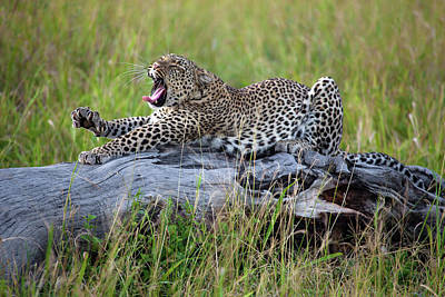 Leopard Wall Art - Photograph - Big Cat by Alessandro Catta