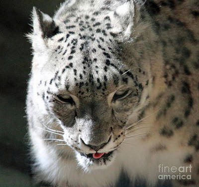 Photograph - Big Cat Beauty by Mary Haber
