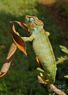 Photograph - big chameleon of Madagascar 20 by Rudi Prott