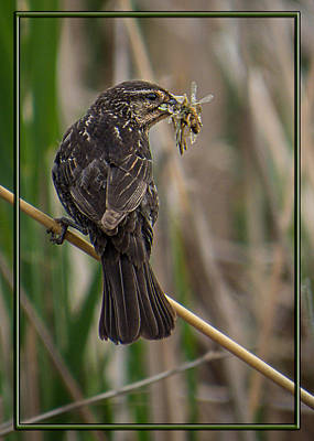Photograph - Big Dinner For Female Red Winged Blackbird II by Patti Deters