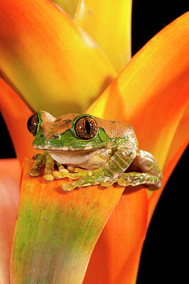 Anuran Photograph - Big Eye Treefrog, Leptopelis by David Northcott