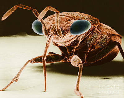 Photograph - Big-eyed Bug by David M Phillips