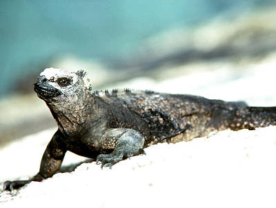 Photograph - Big Eyes Marine Iguana by Robert  Rodvik
