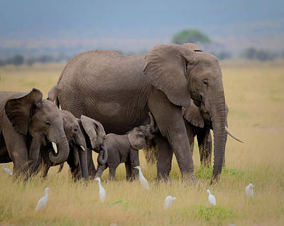 Baby Elephant Wall Art - Photograph - Big Family by Young Feng