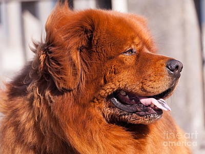 Photograph - Big Fluffy Dog 5d29707 by Wingsdomain Art and Photography