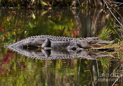 Photograph - Big Gator Reflection by Kathy Baccari